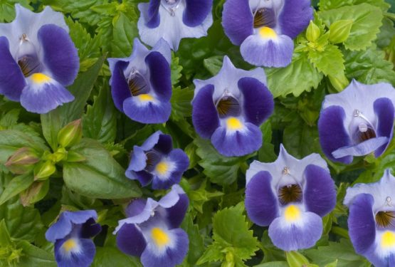 Torenia Plant – A growing guide