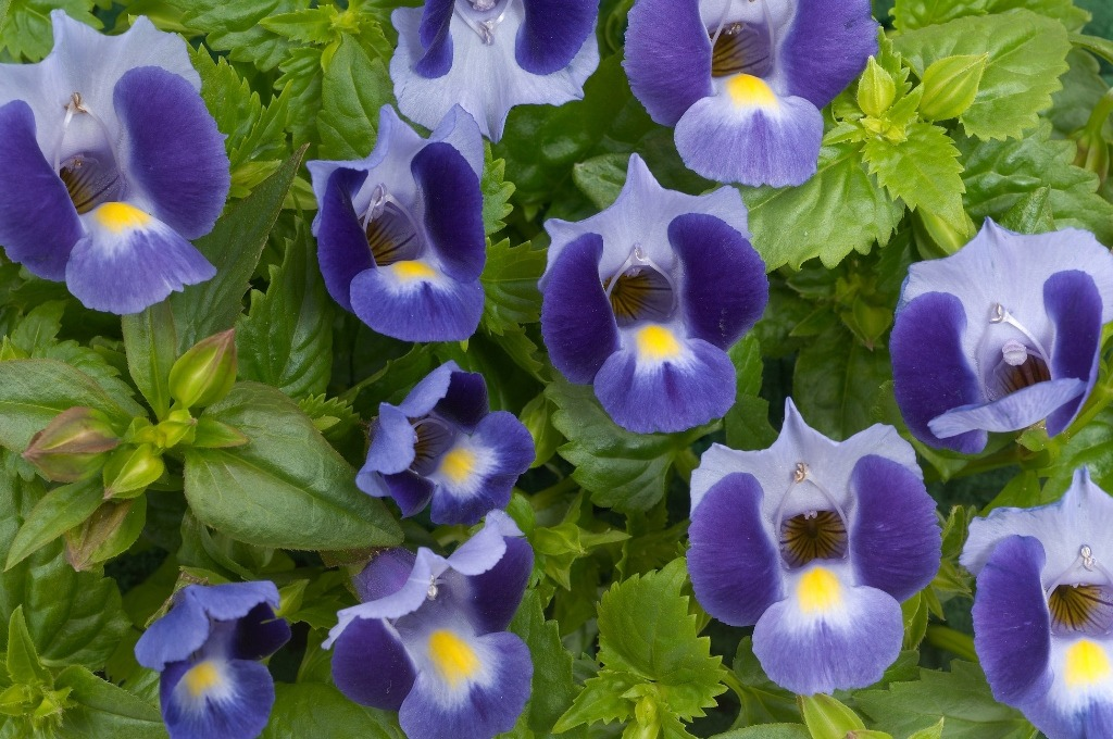 Torenia Plant – A growing guide