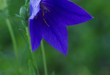 Balloon Flower Growing Guide