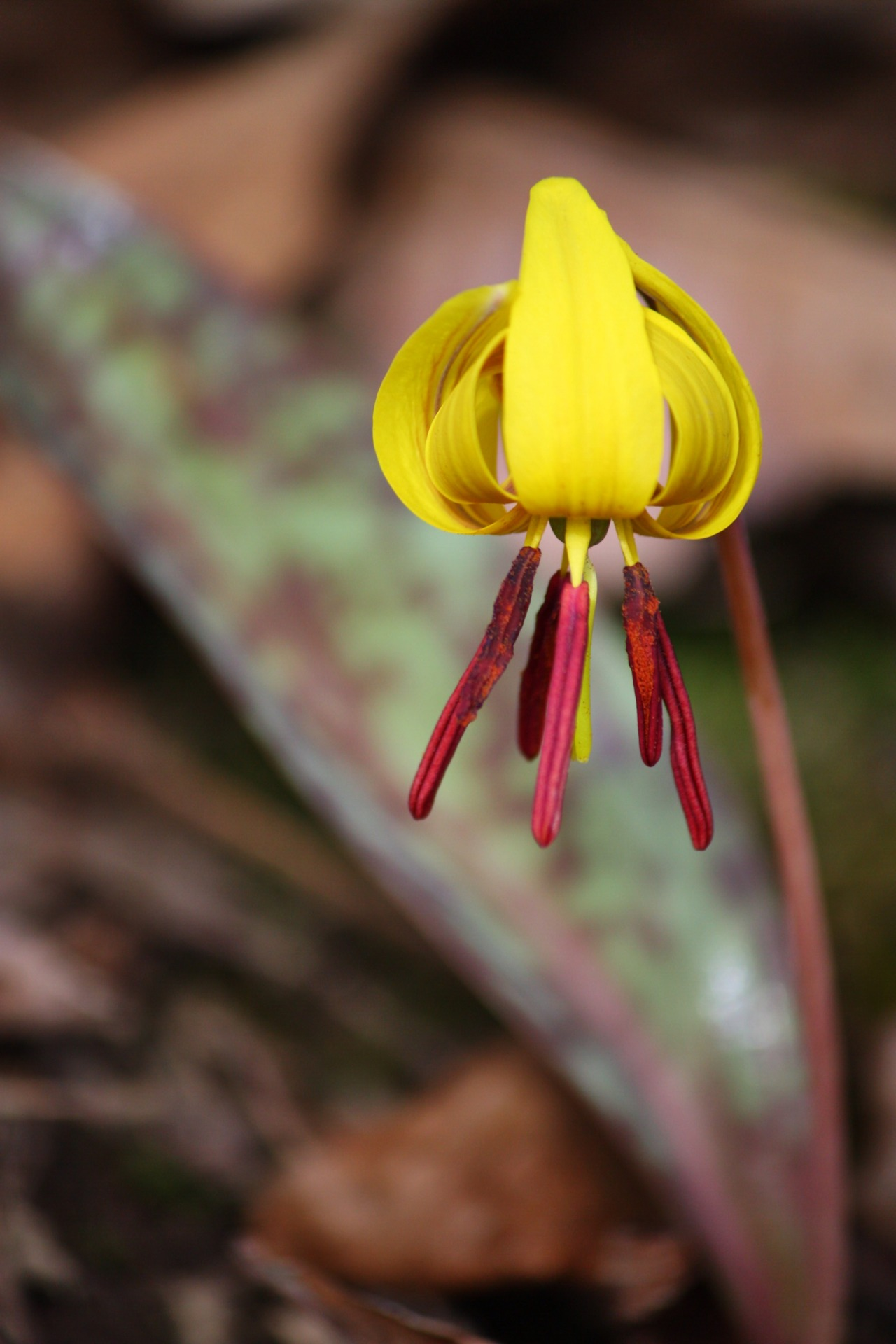 Trout Lily – A guide to growing