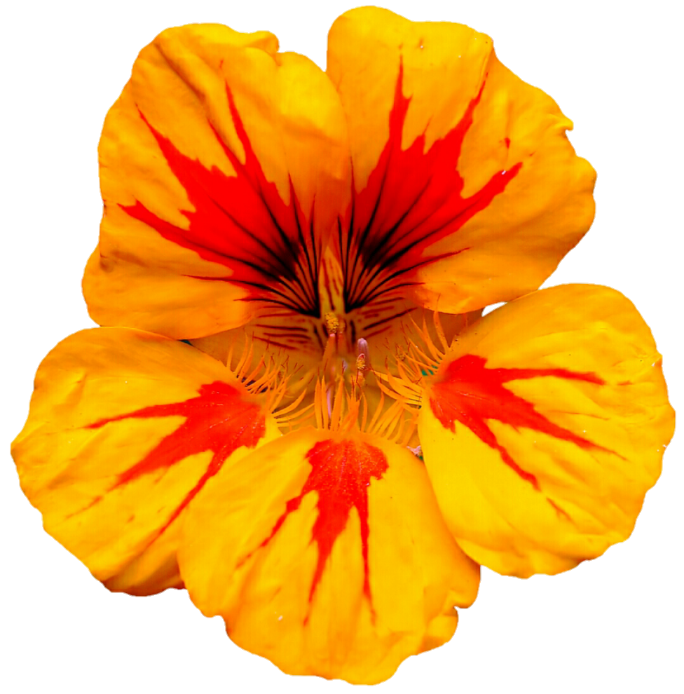 Nasturtium Growing Guide
