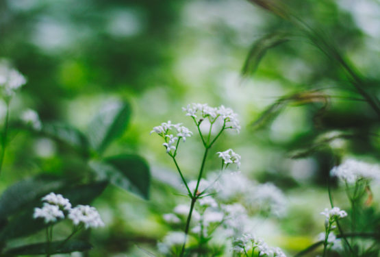 Sweet Woodruff Plants – A Growing Guide