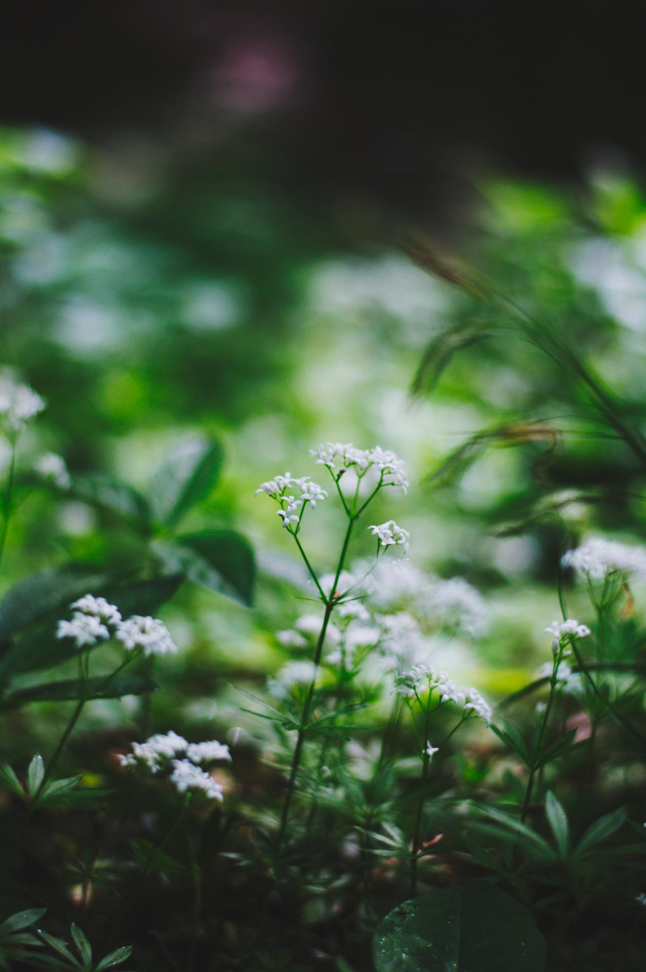 Sweet Woodruff Plants – A Growing Guide