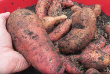 Harvesting Sweet Potatoes Guide
